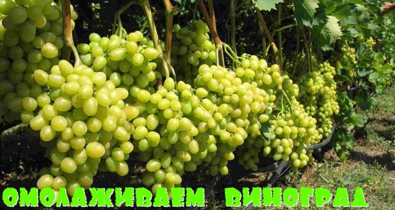 виноград омоложение
