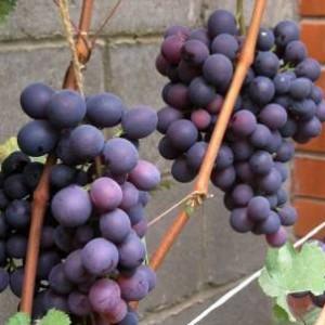 виноградный сорт Сеня