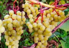 Супра сорт винограда