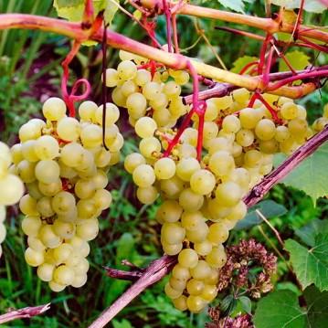Сорт винограда Супра