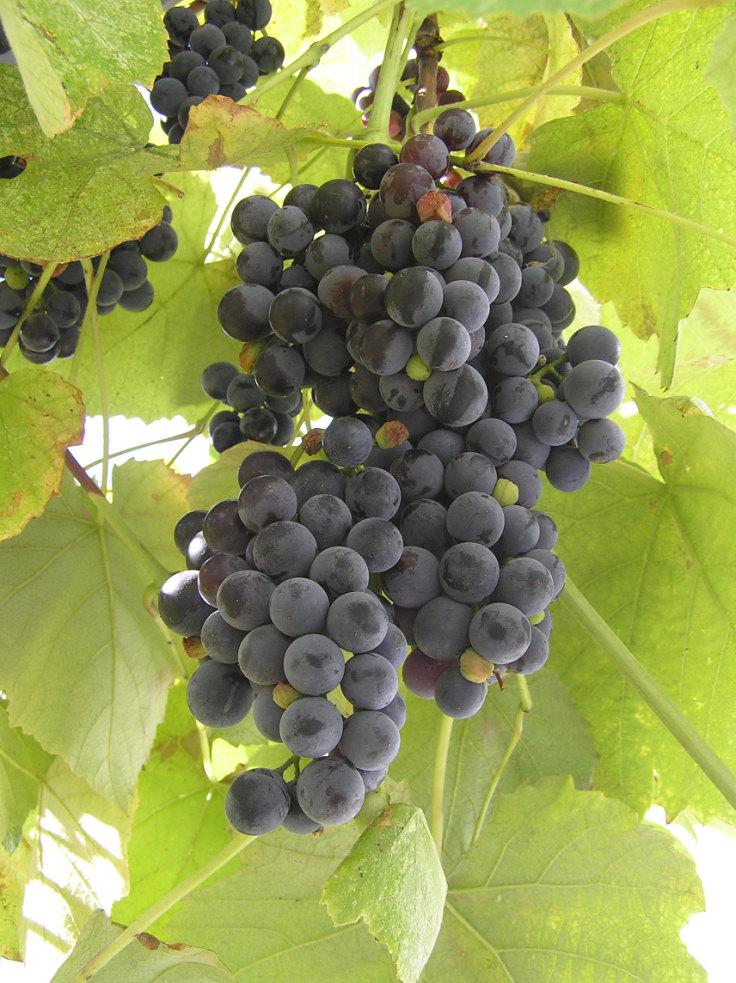 Виноград лидия  описание