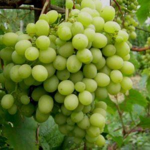 виноград шатилов