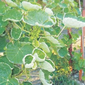 последствия скручивания листьев