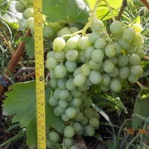 гроздь винограда Кобзарь