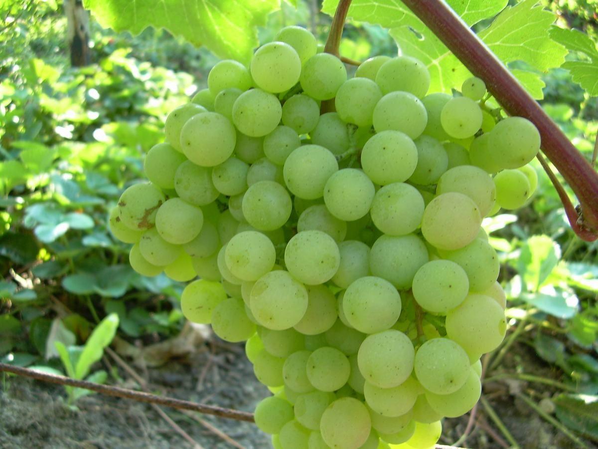 виноград супага на ветке