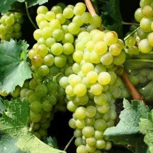 грозди винограда супага