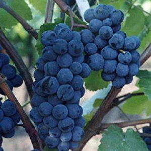 виноград сорт зилга