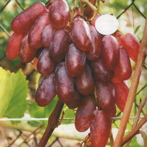гроздь сенсации