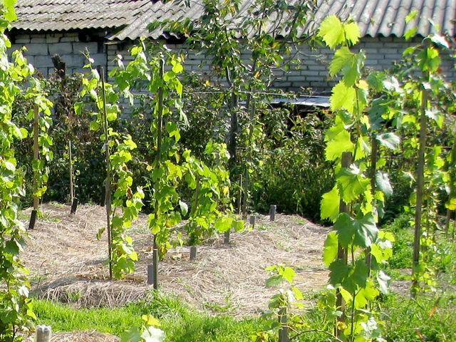 способы посадки винограда