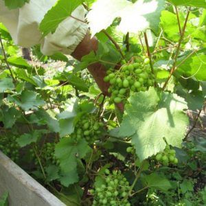 виноград посадка саженцами
