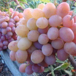 гроздь рубиновый юбилей