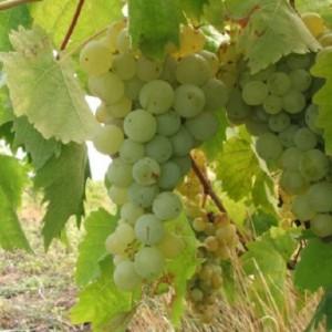 виноград Кобзарь - описание