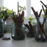 Как укоренить черенки винограда весной