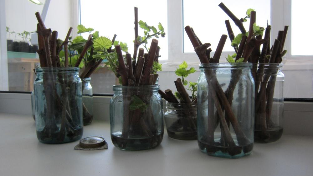 Как укоренить черенки в домашних условиях