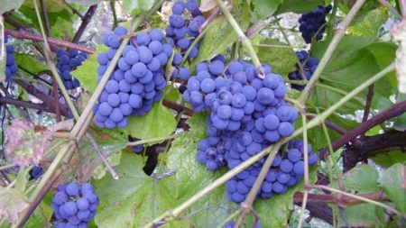 vinograd-izabella