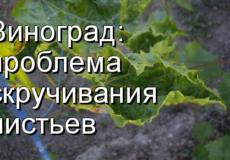 виноград листья скручиваются