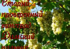 сорт винограда дамский пальчик