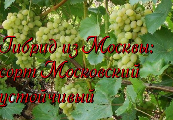 Гибрид из Москвы - сорт Московский устойчивый