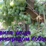 виноград Кобзарь