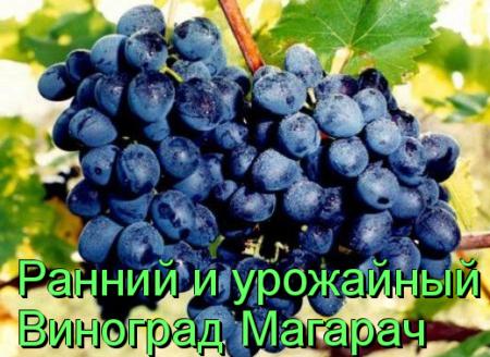 Виноград Магарач