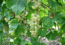 виноград сорта болгария