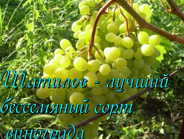 шатилов - сорт винограда
