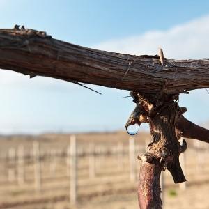 Что делать, когда плачет виноград?