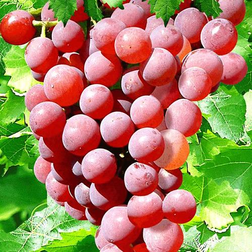 плоды Роселла