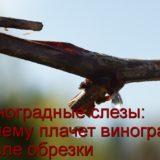 Виноград плачет после обрезки