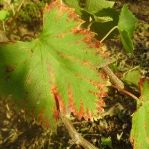 болезни виноградного листа