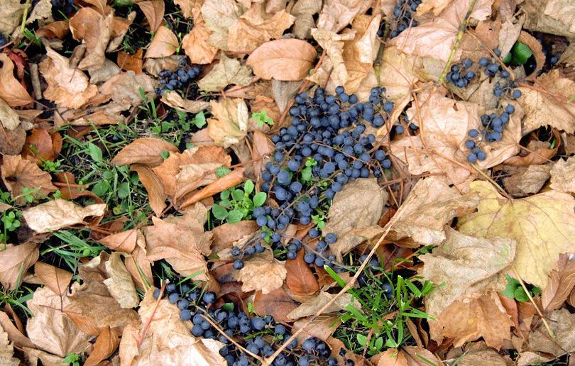 осыпавшийся виноград