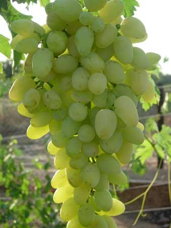 виноград зарница описание сорта фото