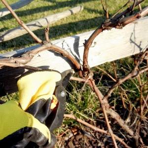 омоложение старого винограда