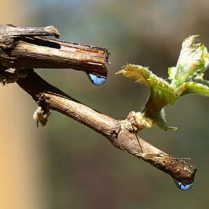 Виноград после весенней обрезки