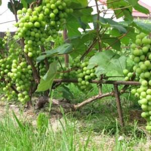 лоза винограда супага
