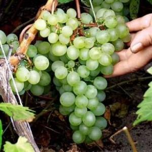 Виноград сорта Ольга