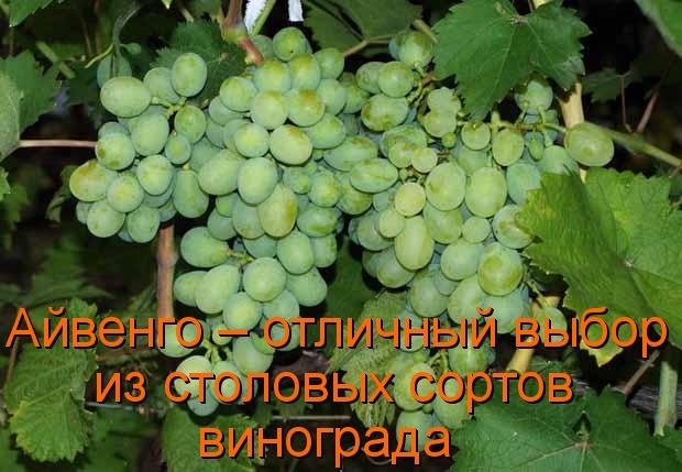 Айвенго – отличный выбор из столовых сортов винограда