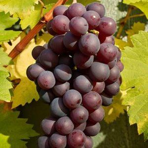 гроздь винограда глория