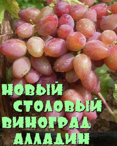 виноград алладин