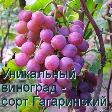 Уникальный виноград - сорт Гагаринский