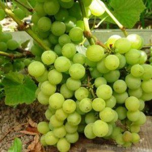 Французское чудо селекции - виноград Ананасный ранний