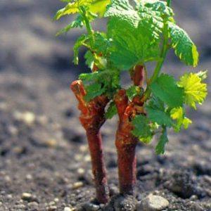 болезни черенков винограда