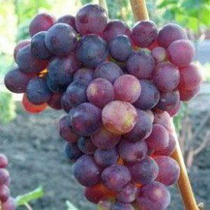 гроздь винограда лепсна