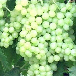 кишмиш 342 - гроздь