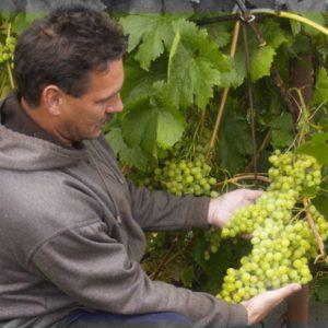 уход сибирь виноград
