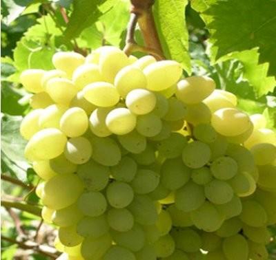 фото виноград ляна