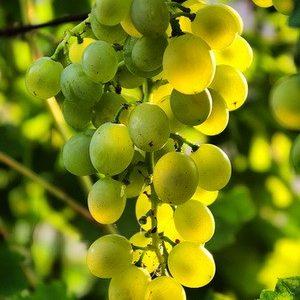 гроздь ананасный ранний