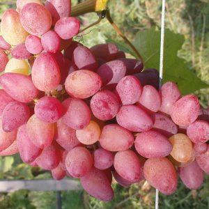 виноград арго
