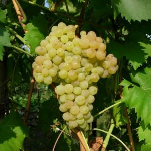 уход за виноградом