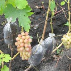 формировка винограда
